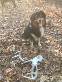 Scout puppers with his big dogbone - a deer skull!