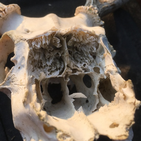 The inner part of the skull, probably where the upper jaw and nose would be?